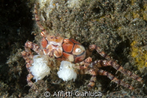 boxer crab by Afflitti Gianluca